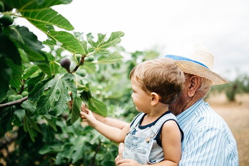Senior man picking figs with his great-grandson - gettyimageskorea