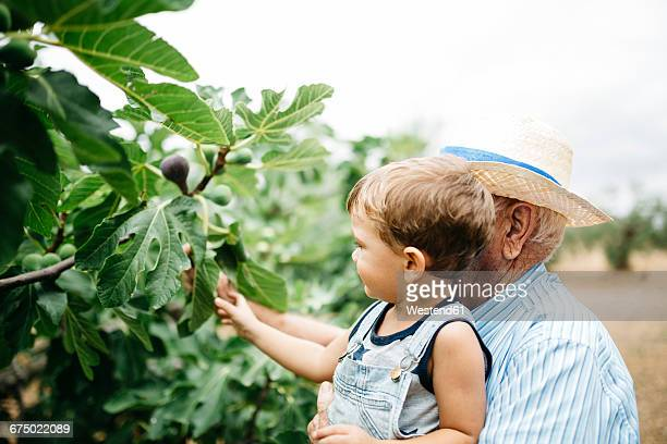 Senior man picking figs with his great-grandson