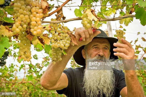 Senior Man Picking Grapes, Harvesting in Europe