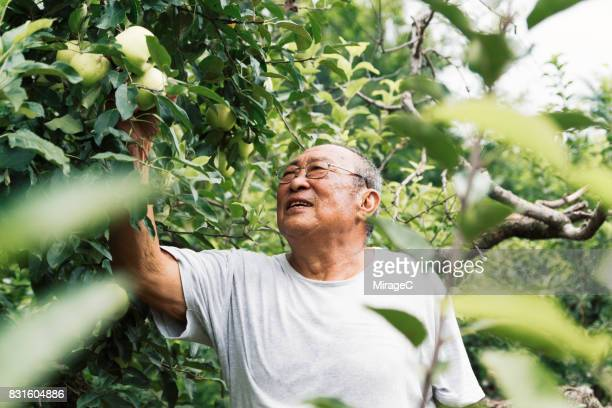 Senior Man Picking Green Apples