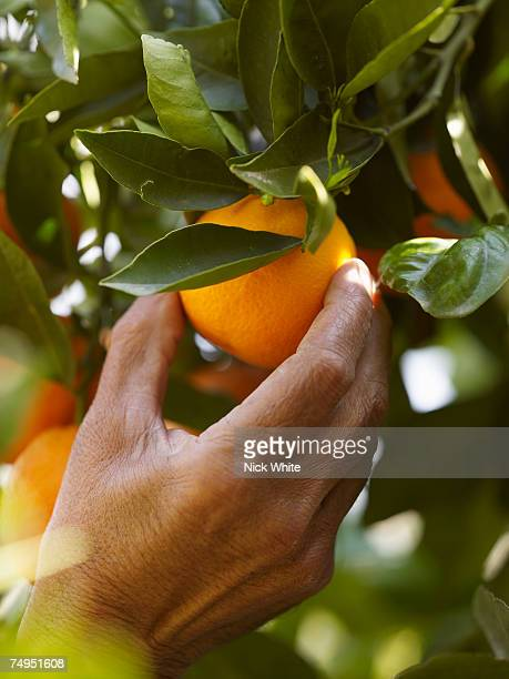 senior man picking orange, close-up - orange imagens e fotografias de stock