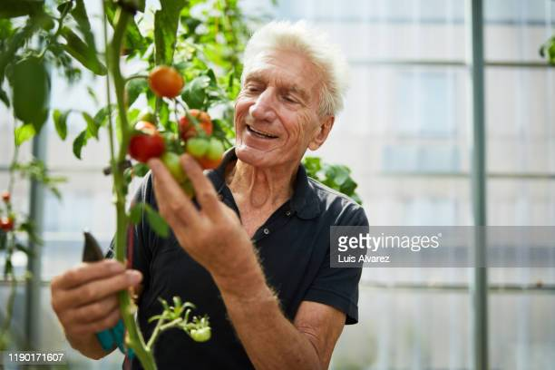 senior man picking tomatoes - disruptagingcollection stock pictures, royalty-free photos & images