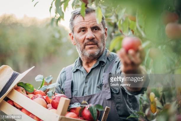 senior mann holt äpfel obstgarten - apfelbaum stock-fotos und bilder