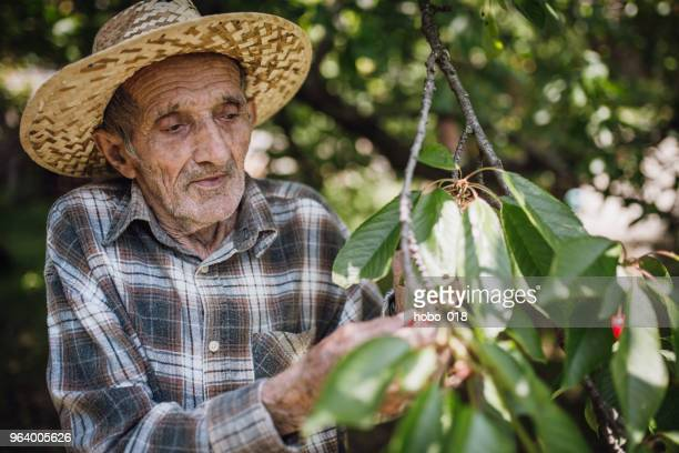 senior man picking up cherries - humility stock pictures, royalty-free photos & images