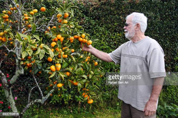 senior man picks fruit - rafael ben ari stockfoto's en -beelden