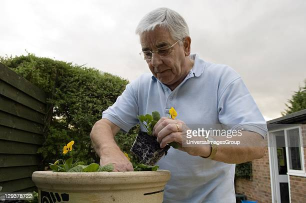 Senior man planting pansy violets in garden