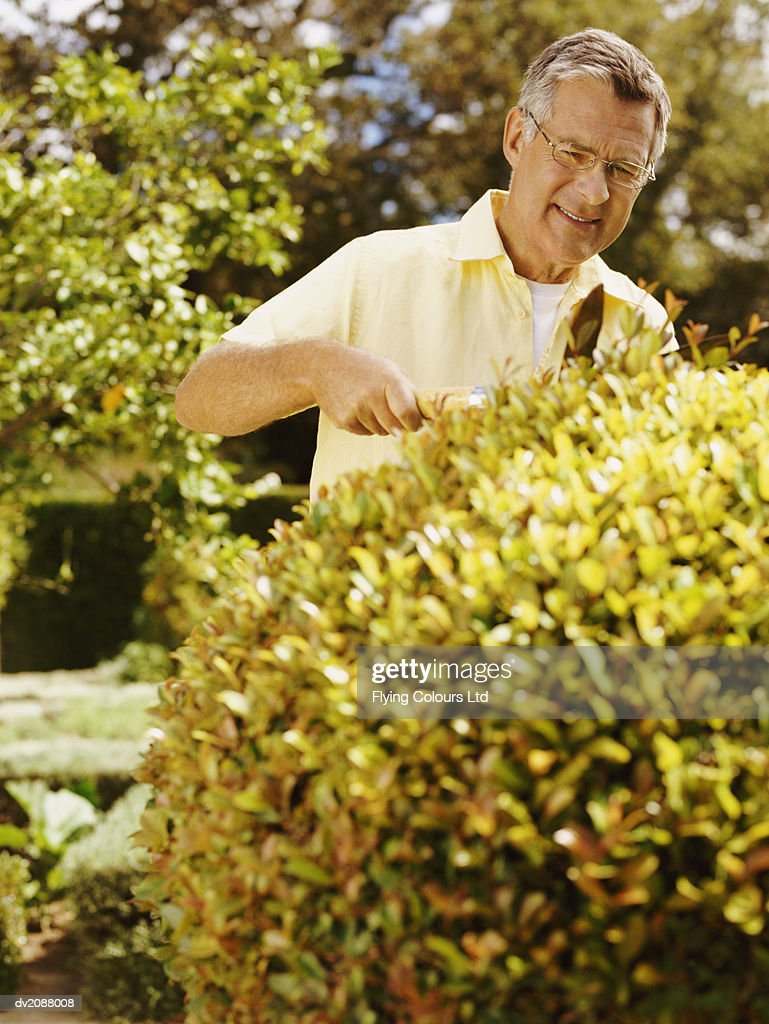Senior Man Pruning a Hedge with Shears in a Domestic Garden : Stock Photo