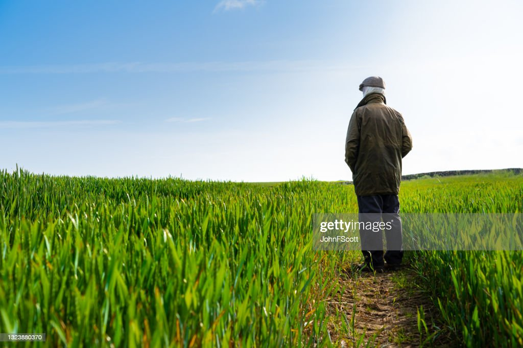 Senior man standing amongst a cereal crop : Stock Photo
