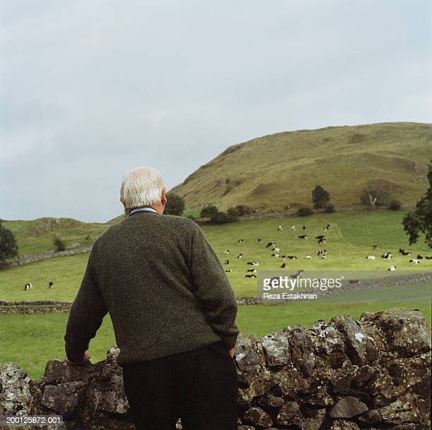 senior man standing by stonewall, looking at cattle, rear view - rear view stock pictures, royalty-free photos & images