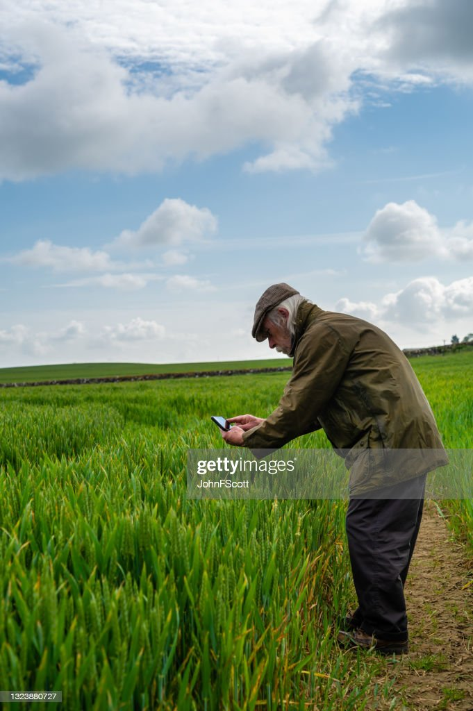 Senior man taking a photo of a cereal crop : Stock Photo