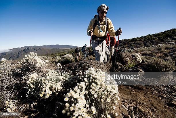 a senior man treks by wild alpine flowers in the high desert below mt. kilimanjaro. - mt kilimanjaro stockfoto's en -beelden