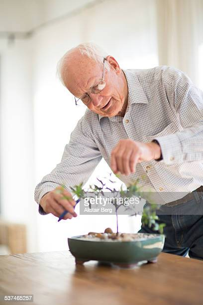 Senior man trimming a bonsai tree