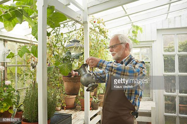 Senior man wataring plant in greenhouse