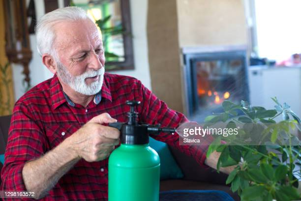senior man watering schefflera arboricola houseplant - queensland umbrella tree stock pictures, royalty-free photos & images