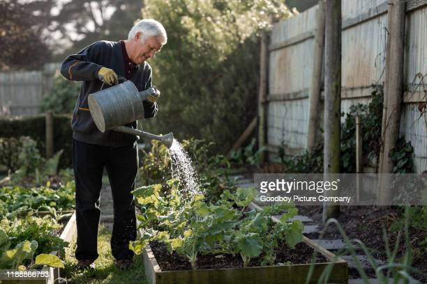 senior man watering vegetables in his garden - watering stock pictures, royalty-free photos & images