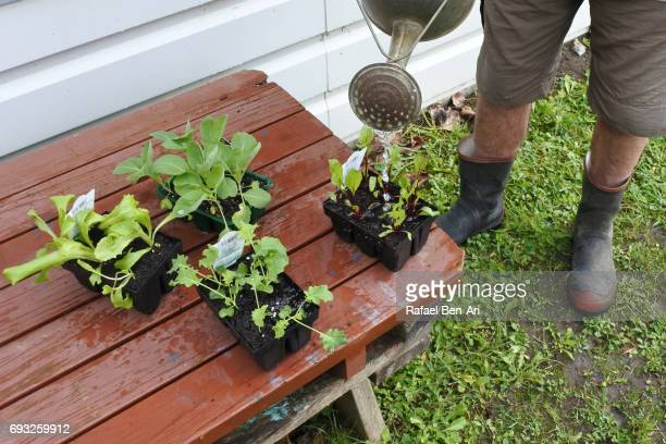 Senior man watering young plants