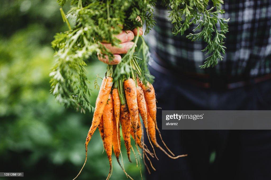 Hogere mens met bos van vers geoogste wortelen : Stockfoto