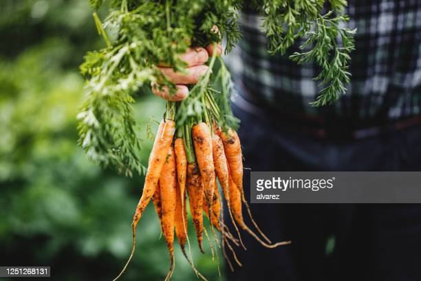 senior man with bunch of freshly harvested carrots - carrot stock pictures, royalty-free photos & images