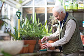 Senior man working in a greenhouse