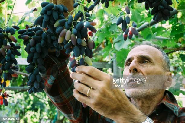 Senior man aan het werk in een wijngaard