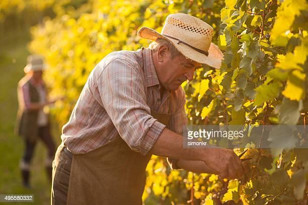 Senior Mann arbeitet in vineyard