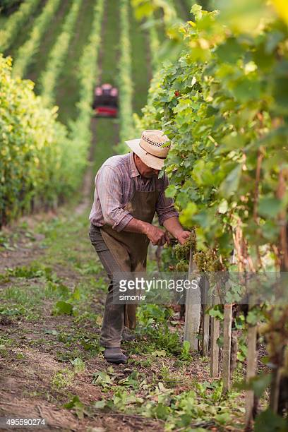 senior man working in vineyard - grape harvest stock pictures, royalty-free photos & images