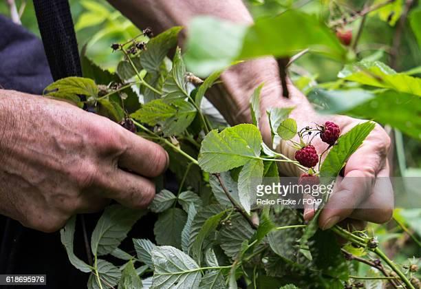 senior men picking raspberry