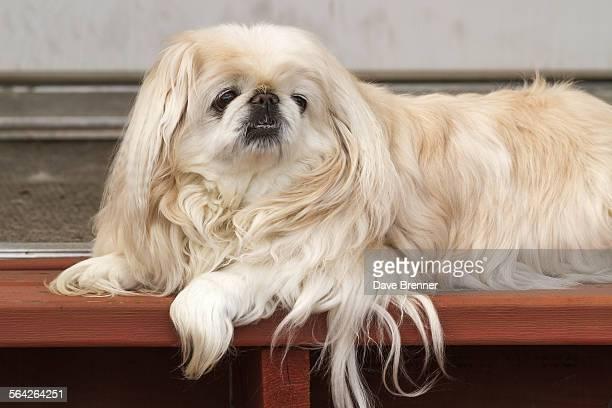 Senior Pekingese waits for its owner