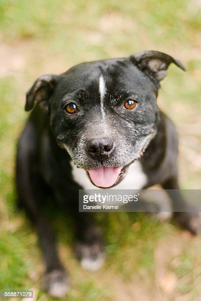 senior pet dog looking up at camera and smiling - staffordshire bull terrier stock pictures, royalty-free photos & images