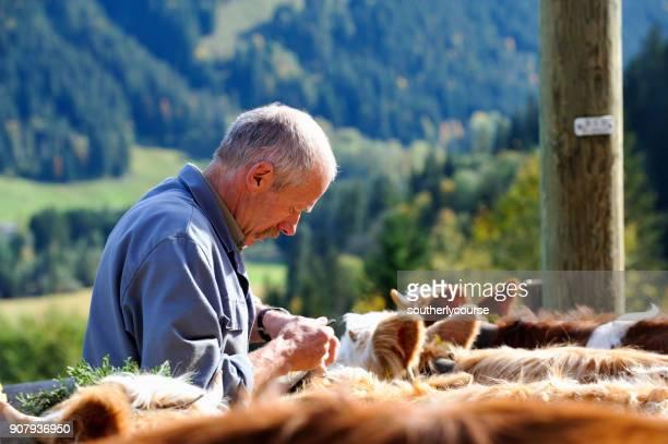 Granjero suizo Senior con ganado