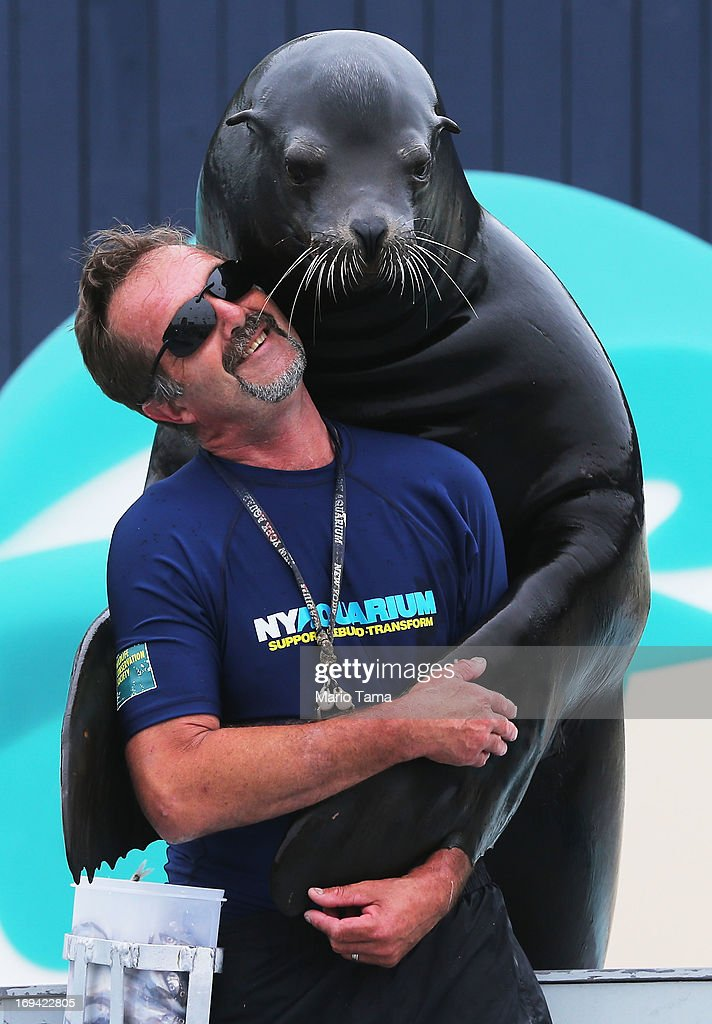 Senior trainer Guenter Skammel gets a hug from sea lion Duke during a press preview before the re-opening of the Wildlife Conservation Society New York Aquarium in Coney Island on May 24, 2013 in the Brooklyn borough of New York City. The aquarium was heavily damaged by Hurricane Sandy and will finally reopen tomorrow on the same day the city beaches re-open to the public.