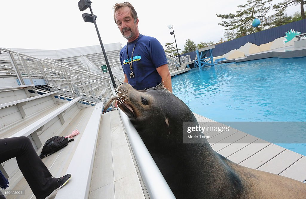 Senior trainer Guenter Skammel shows off sea lion Osborne during a press preview before the re-opening of the Wildlife Conservation Society New York Aquarium in Coney Island on May 24, 2013 in the Brooklyn borough of New York City. The aquarium was heavily damaged by Hurricane Sandy and will finally reopen tomorrow on the same day the city beaches re-open to the public. Osborne is one of many Hurricane Sandy survivors, more than 90 percent of the aquarium's sea life survived the storm.