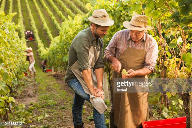 senior vintner teaching his son about grapes - viniculture stock pictures, royalty-free photos & images