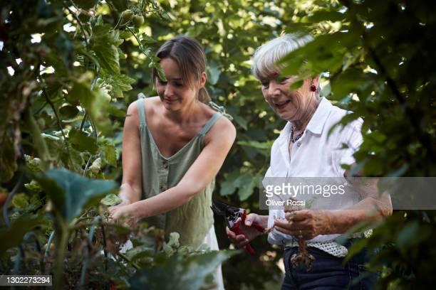 senior woman and adult daughter caring for tomato plant in garden - nur erwachsene stock-fotos und bilder