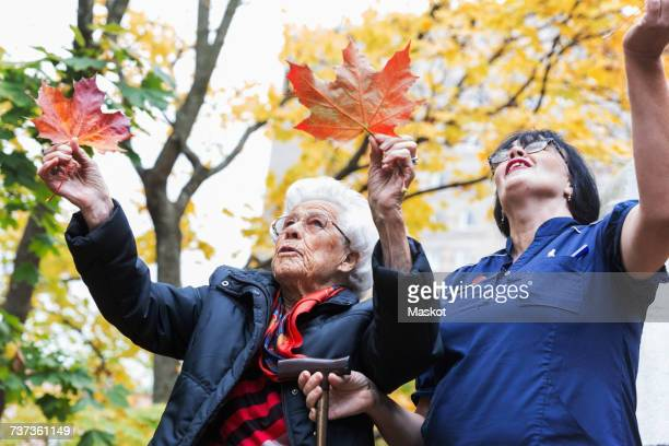 senior woman and caretaker playing with maple leaves in park - naughty nurse images stock photos and pictures