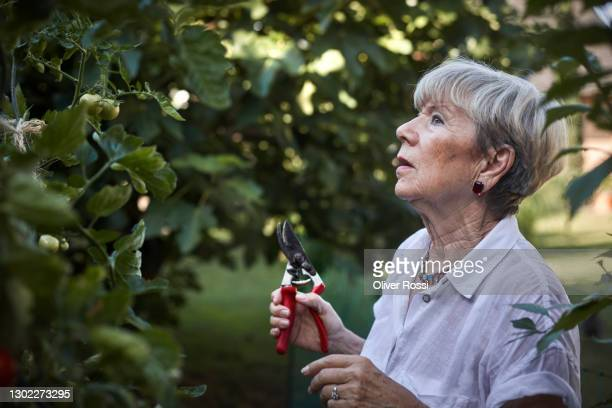 senior woman caring for tomato plant in garden - gardening equipment stock pictures, royalty-free photos & images