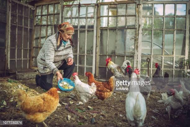 senior woman feeding chicken on a farm - russia foto e immagini stock