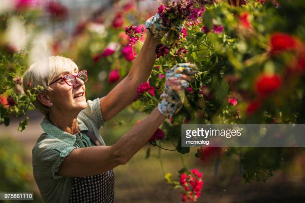 senior woman gardener - horticulture stock pictures, royalty-free photos & images