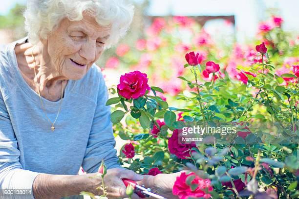 Senior Woman Gardening, Cutting Roses