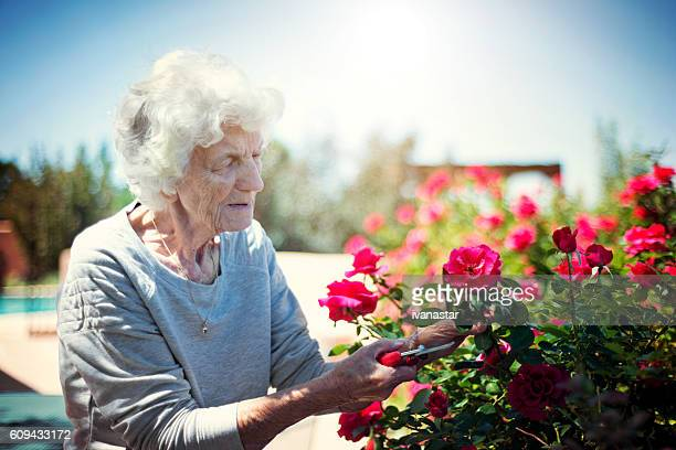 senior woman gardening, cutting roses - 90 plus years stock pictures, royalty-free photos & images