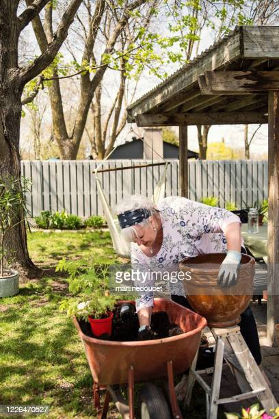 "senior woman gardening in suburban backyard. - ""martine doucet"" or martinedoucet stock pictures, royalty-free photos & images"