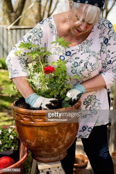 """senior woman gardening in suburban backyard. - """"martine doucet"""" or martinedoucet stock pictures, royalty-free photos & images"""