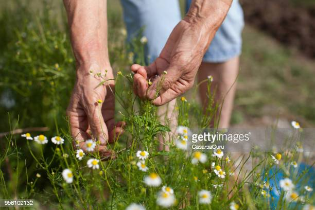 senior woman hand picking up chamomile - chamomile tea stock photos and pictures