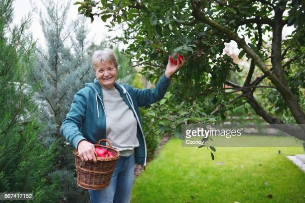 Senior woman harvesing apples in the garden