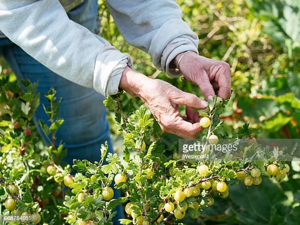 Senior woman harvesting gooseberries in a vegetable garden