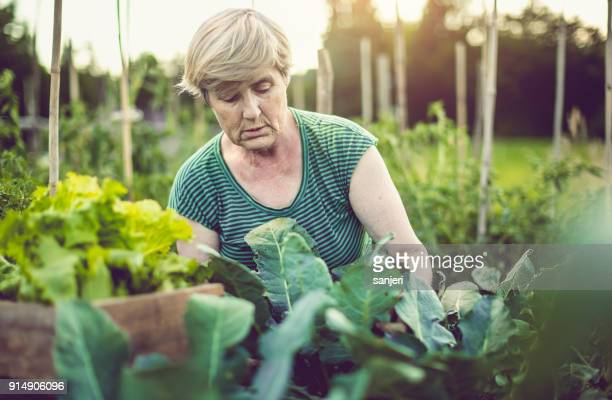 senior woman harvesting home grown vegetables - agricultural activity stock pictures, royalty-free photos & images