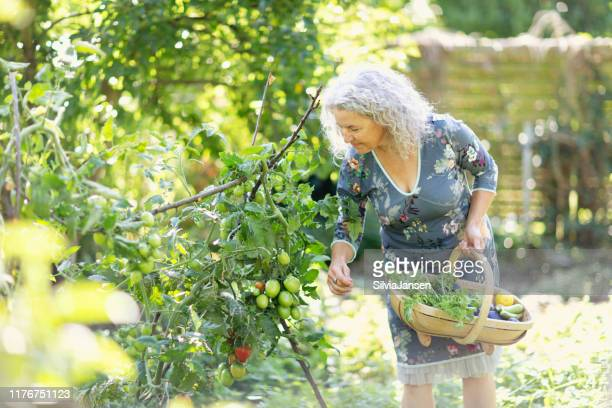 senior woman harvesting vegetable in her garden - images stock pictures, royalty-free photos & images