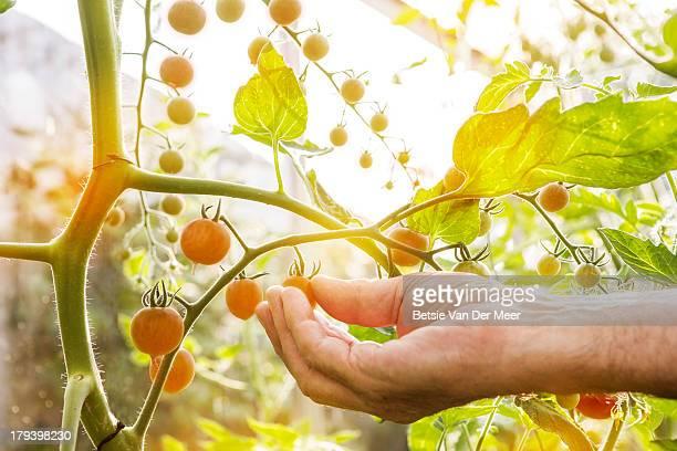 Senior woman picking cherry tomatoes.