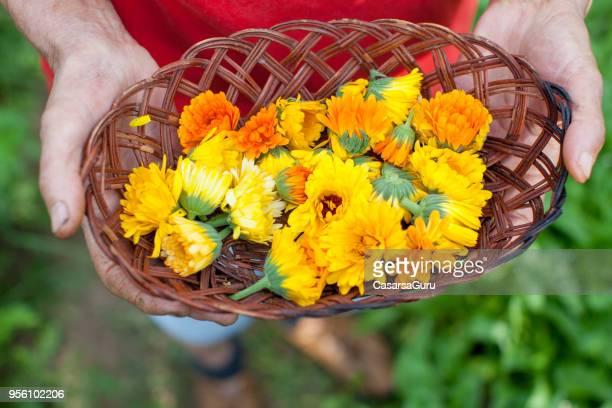 Senior Woman Picking Up Marigold (Calendula) Flowers