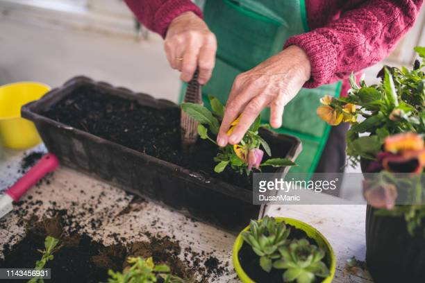 senior woman planting aromatic herbs in pot - potting stock pictures, royalty-free photos & images